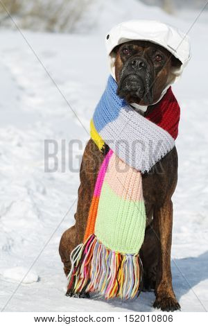 intelligent dog breed boxer is sitting in hat and scarf in the snow in the winter. A pet dressed as a man