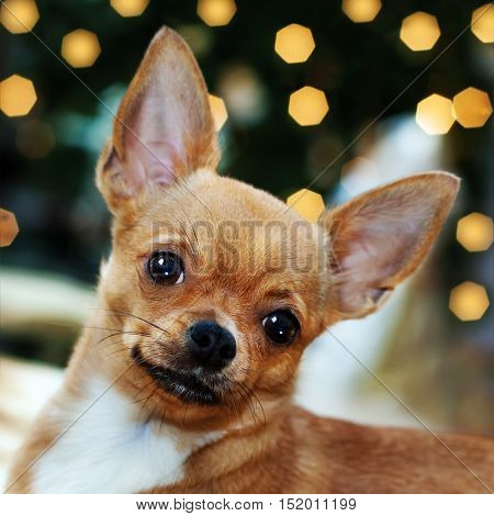 Red chihuahua dog on bokeh background. Closeup.