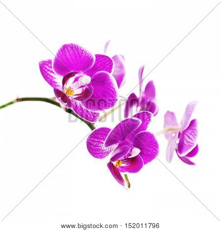 Rare purple orchid isolated on white background. Closeup.
