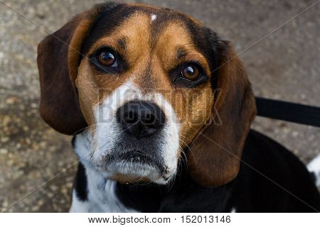 Adult male beagle dog looking at you in spring.