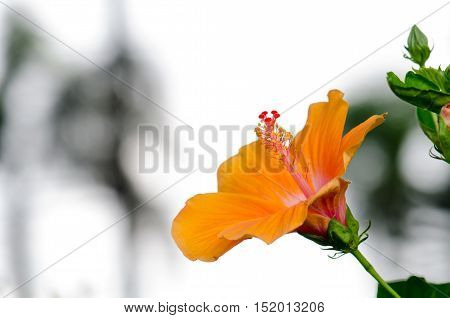 Orange hibiscus flowers blooming beautiful On the tree trunk sun