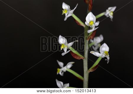 Flower of the orchid Ludisia discolor an earth growing orchid from Asia.