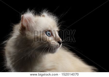Close-up Portrait of Furry American Curl Kitty with Twisted Ears Isolated Black Background, Profile view