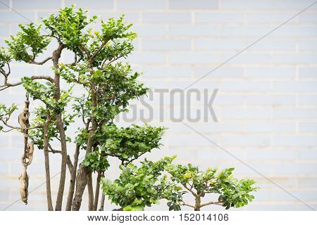 bonsai tree with copy space in outdoor