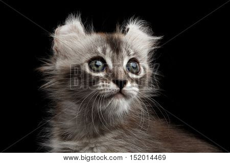Close-up Fluffy American Curl Kitty with Twisted Ears and magic eyes Isolated Black Background, front view