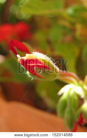 Red geranium flower bud growing in a terracotta pot in garden sunlight