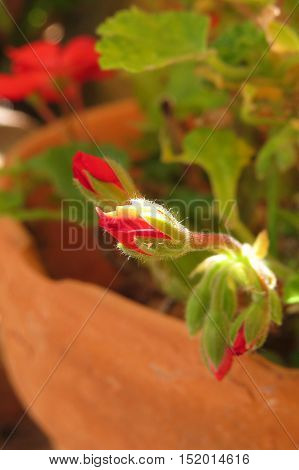 Red geranium flower bud in a terracotta pot