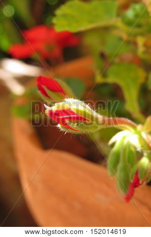 Red geranium flower bud in terracotta garden pot