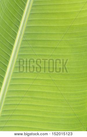 close up of banana leaves nature background