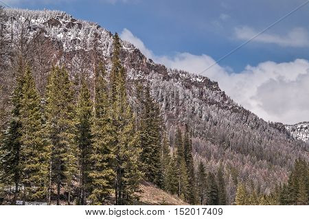 Lodgepole pines (Pinus contorta) account for 80% of the forests in Yellowstone National Park