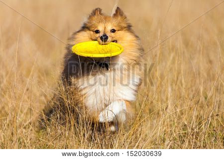 Shetland Sheepdog with a flying disc runs over a field