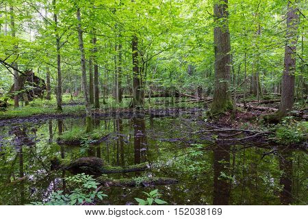 Moss wrapped broken tree lying in water in old natural summertime deciduous stand, Bialowieza Forest, Poland, Europe