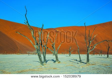 The dried lake Deadvlei. Scenic dried trees among the giant orange sand dunes. Ecotourism in  Namibia