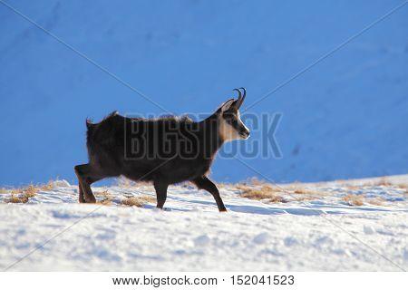 Chamois at winter in Tatras - rupicapra rupicapra