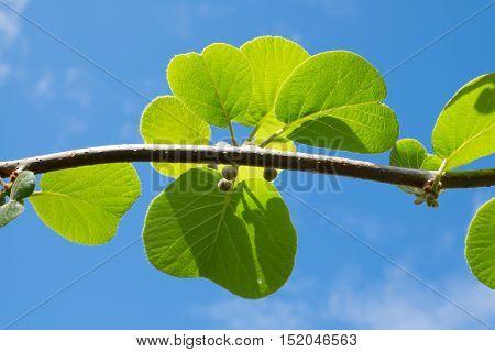 Kiwi fruit plant is budding with bright leaves Kerikeri New Zealand NZ