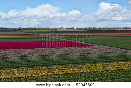 Tulip farm. Beautiful outdoor scenery in Netherlands Europe