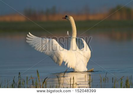 Mute swan Cygnus olor flap its wings in the pond