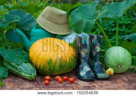 Fresh Organic Vegetables And Garden Tools. Pumpkins Vegetable Marrow Red Tomatoes Rubber Boots Watering Can And Wicker Hat On Old Wooden Painted Table In Summer Vegetable Garden.