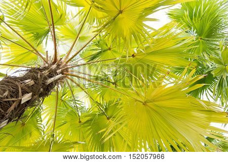 A Beautiful plam tree isolated on white background.