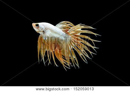 Male crown tail Betta splendens or siamese fighting fish isolated on black background Plakat Thailand