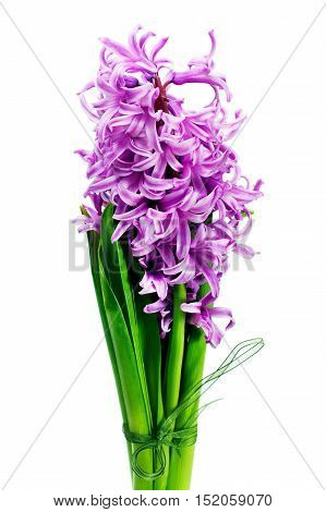 Bouquet from hyacinth isolated on white background.