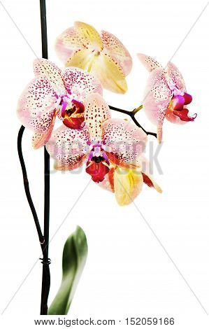 Tiger orchid isolated on white background. Closeup.