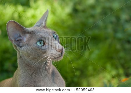 Oriental Shorthair Gray Cat Outdoors Summer. Oriental Breed. Copy Space.