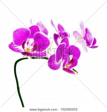 Purple orchid isolated on white background. Closeup.