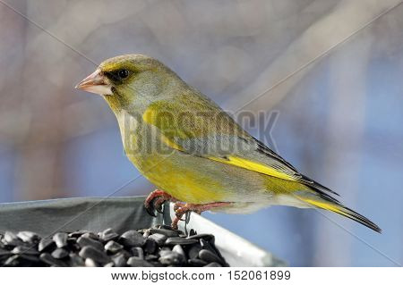 Close up view of beautiful Greenfinch bird (male) at a feeder in a sunny spring day. Greenfinch is a small passerine bird in the finch family Fringillidae. Shallow depth selective focus.