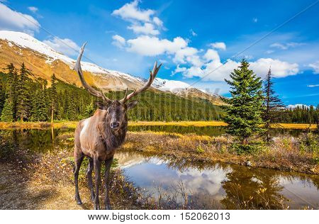 Magnificent red deer with branched antlers grazes in the grass near the water. The beautiful nature in the northern Rocky Mountains of Canada