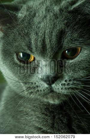 Portrait of a cat. Sleek cat muzzle. Breed cat - British Shorthair. Serious cat.