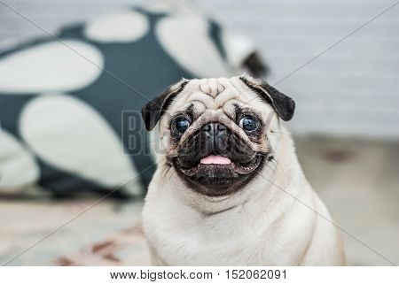 poster of Happy dog. Portrait of a pug. Pleased muzzle. Happy pug. Dog smile. A dog with his tongue hanging out. A dog in the apartment.