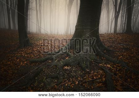 Tree with big roots in mysterious forest with fog