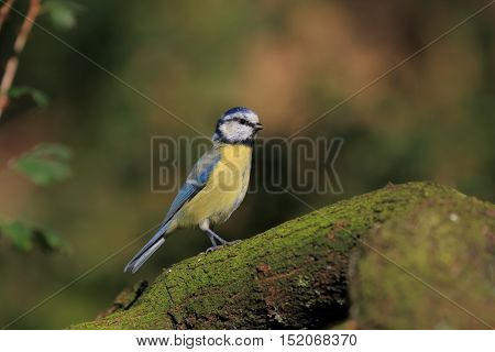 blue tit on a branch posing for the camera