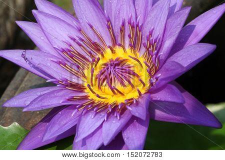 Macro Shot of Purple Water Lily lotus using in Spa