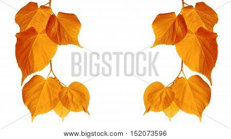Autumn Tilia Leaves