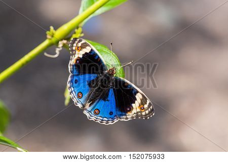 Blue Pansy Butterfly