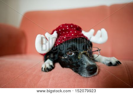 Cute black-and-white dog in a suit of a reindeer lays on a red sofa. On a nose the dog has glasses. Clever pet obediently lies and sad looks into the camera.