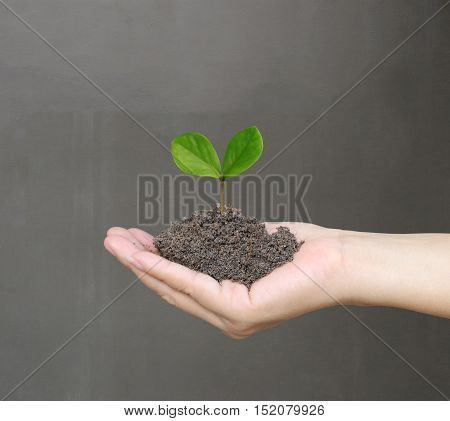 Soil in a Woman hand and treetop on soil with background of gray wall.