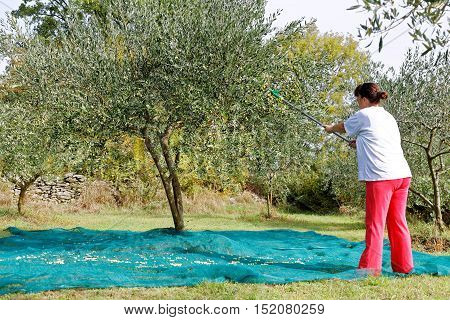 woman picking olives during harvest time in yard