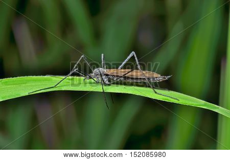 A close up of the insect daddy-long-legs (Tipulidae) on grass-blade.