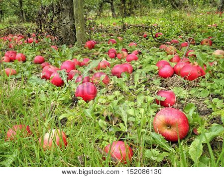 English autumn orchard of fallen ripe and rotten red apples lying on the ground under the trees in grass