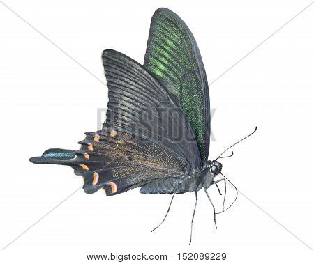 A close up of the butterfly swallowtail (Papilio maackii). Isolated on white.