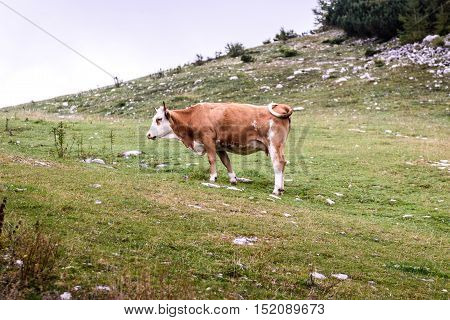 Free Range Cattle Cow On High Mountain Green Pasture.