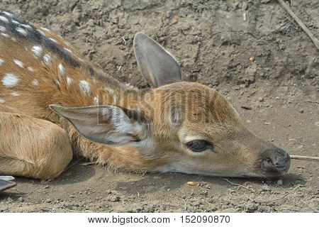 A close up of the young sika deer (Cervus Nippon).