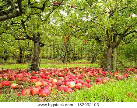 English autumn organic orchard of fallen ripe and rotten red apples lying on the ground under the trees in grass