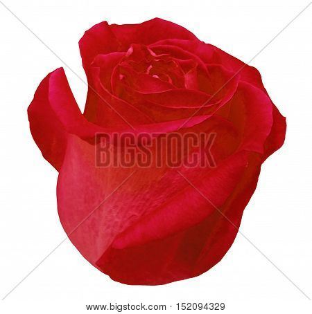 Flower rose red rose white isolated background with clipping path. Closeup. red rose side view.