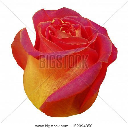 Flower rose red yellow rose white isolated background with clipping path. Closeup. red yellow rose side view.