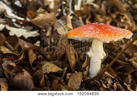 amanita muscaria in the forest very dangerous.
