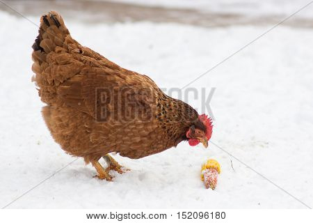chicken eating corn on the snow in winter